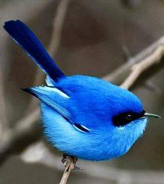 belos pássaros