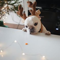 """There you are, my Precious"", Theo, the French Bulldog in his Christmas Antlers,  theobonaparte"