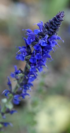 Salvia 'May Night' isn't new, but it's an awesome plant.