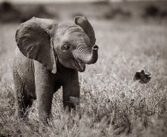 Elephants photos, baby elephants, save the elephants, african elephant, ele Elephants Photos, Save The Elephants, Elephants Playing, Animals And Pets, Funny Animals, Cute Baby Elephant, Baby Elephant Pictures, Elephant Elephant, Elephant World