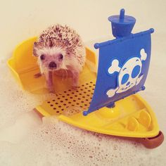 After Losing A Tooth, Norman The Hedgehog Became An Internet Celebrity