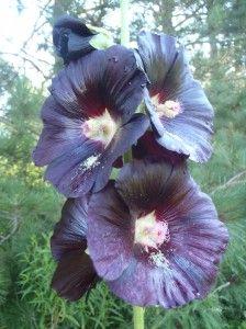 Rose trémière noire | Potager ornemental de Catherine