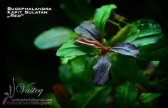 Bucephalandra -The Unparalleled beauty among aquatic plants ( Part 1 ) – Micro Aquatic Shop Freshwater Aquarium Plants, Planted Aquarium, Aquarium Fish, Parts Of A Plant, Colorful Plants, Hardy Plants, Plant Sale, Aquatic Plants, Betta Fish