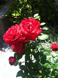 Ingrid Bergman Roses from my garden.