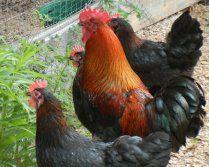 Black Copper Marans Chickens