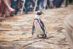 "Joy L Baker Photography; Tanganyika Wildlife Park Penguin, ""Ring-Bearer"""