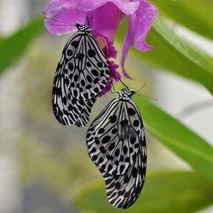 Tangled Butterflies by Mother Nature