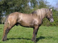 Poitevin stallion Oumbaka. Poitevin (also Mulassier, Poitevin Mulassier, Trait poitou etc) is a French draft breed which is famous for breeding strong mules. Poitevin as a horse breed hasn't been very valued, it's considered to have several conformational faults. It may be true but nevertheless it's a strong and reliable. Poitevins come in several colors: black, bay, chestnut, roan, dun/grulla, gray...