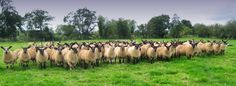 We have Suffolk Sheep Classes at the Lincolnshire Show