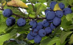 wild damsons are like matt purple gemstones of the autumn hedgerow - pickle them in a sweet syrup for a winter treat Winter Treats, Plant Identification, Edible Plants, Pickle, Syrup, Free Food, Blueberry, Bliss, Stuffed Mushrooms