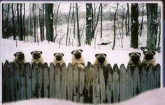 Pug fence