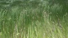 Beautiful waving grass of wilderness - HD stock video clip