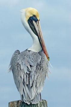 Love our Brown Pelicans.  Visit the www.SuncoastSeabirdSanctuary.com ...it is just south of #Clearwater.