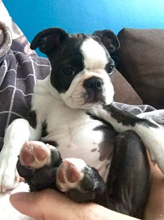 Never before seen in nature: an awake Boston Terrier puppy without motion blur.