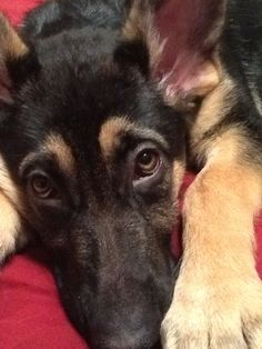 GSD Puppy Amazing Dogs, Amazing Photos, German Shepherd Puppies, German Shepherds, I Love Dogs, Cute Dogs, Schaefer, Gsd Puppies, Little Critter