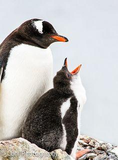 Feed me! Gentoo penguin baby in Antarctica
