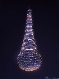 Radiolarian of Cyrtopera laguncula