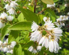 Duetzia sp. White