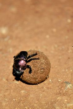The African dung beetle Game Reserve, African Animals, Beetle, Insects, Image, June Bug, Beetles, Bugs, Beetle Insect
