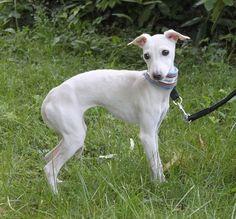italian greyhound cream - Google Search