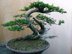2007年09月 : 盆栽亭「英樹」