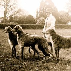 Scottish Deerhound facts including: history, training/temperament, and breed colors and markings. Akc Breeds, Best Dog Breeds, Large Dog Breeds, Large Dogs, Best Dogs, Irish Wolfhound, Irish Elk, Dog Stories, Dogs
