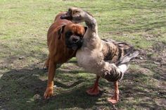 Buttons the four-year-old goose leads her pal around everywhere either by hanging onto him with her neck, or by honking to tell him which way to go.    Owner Renata Kursa, 47, of Lublin, Poland, was heartbroken when Bak was left blind after an accident last year.    'But gradually Buttons got him up on his feet and starting walking him around. They're inseparable now - they even chase the postman together,' she said.