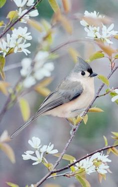 Tufted Titmouse - Bird removal