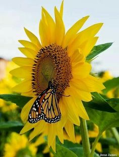 ʚĭɞnatureza - Monarch on sunflower