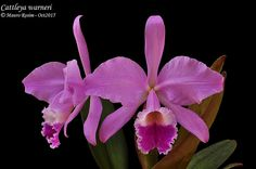 Cattleya warneri | Mauro Rosim | Flickr