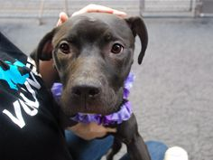 RETURNED!!! NO TIME!! SAFE 5/17/16 - SUPER URGENT Manhattan Center JAZZY – A1072915 FEMALE, BLACK / WHITE, PIT BULL MIX, 10 mos STRAY – STRAY WAIT, NO HOLD Reason STRAY Intake condition EXAM REQ Intake Date 05/09/2016, From NY 10472, DueOut Date 05/12/2016,