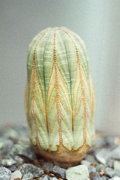 This plant is Euphorbia obesa, a succulent from southern Africa
