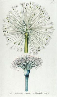 Fragmenta botanica, figuris coloratis illustrata - 1809 Biodiversity Heritage Library