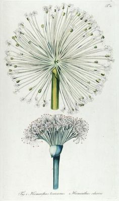 Fragmenta botanica, figuris coloratis illustrata - 1809 Biodiversity Heritage Library