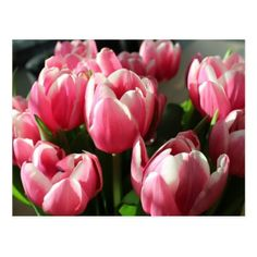Tulips from Amsterdam 2 Postcard - postcard post card postcards unique diy cyo customize personalize