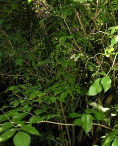 Sambucus_nigra2.JPG