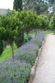 lavender hedge paired with dwarf trees