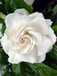 Gardenia- protect from direct sunlight, acidic soil