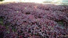 Image result for kachil vegetable