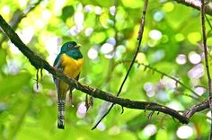 Black-Throated Trogon in Corcovado National Park. Part of a Photo Gallery featuring 40 Amazing Costa Rican Wildlife Species.