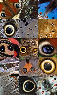 Série de photos d'ailes de papillons dont les tâches simulent des yeux