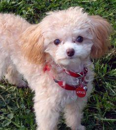 Adorable teacup poodle