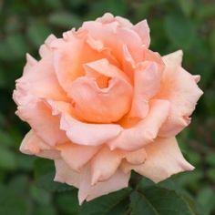 Bouquet d'Or - David Austin Roses