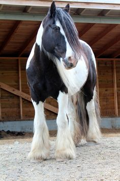 Gypsy Vanner - My boy! I've once heard someone say that the best things in life are free. He obviously never owned a horse. from Life Through My Eyes