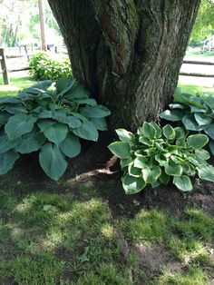 Hostas around the base of a tree
