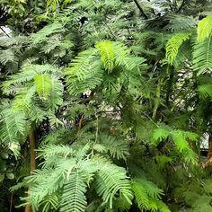 #jungle #jungla #naturelovers #palma#palmtree #palmy #flowerlover #florals #insta_pick_blossom #flowermagic #instablooms #bloom #botanical #tree#world #simplicity #garden#gardens#urbanjunglebloggers#plants #newplant #newplants #newplantsmakemehappy #green #urbanjungle #plantsmakepeoplehappy