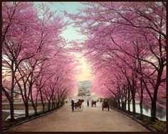 THE CHERRY BLOSSOM ROAD INTO OLD AKASAKA -- A Fine Spring Day in Old Tokyo, Japan by Okinawa Soba, via Flickr,  All else is as is from 110+ years ago, including the saturated tinting of the Cherry Trees.