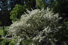 Jasmiini alkaa olla täydessä kukassa