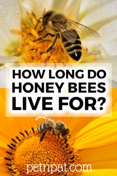 There are 3 types of honey bee, how long does each live? What is the honey bee lifespan? The Queen, drone, and worker bee lifespan. Animals For Kids, Animals And Pets, Baby Animals, Types Of Honey Bees, Animal Nutrition, Pet Nutrition, Unusual Animals, Unusual Pets, Pet Supplies Plus