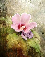 Featured Art - Romantic Hibiscus Flower by Jai Johnson